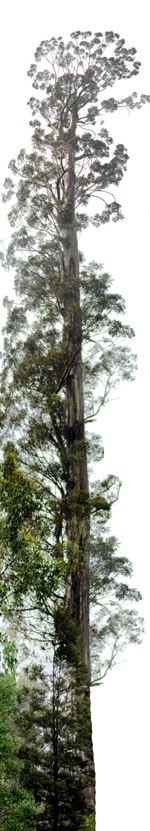 The Centurion is the tallest Swamp Gum (Eucalyptus) tree (Eucalyptus regnans F.Muell.) in the world, thus making Eucalyptus regnans the second tallest tree species in the world after Coast Redwood and the tallest angiosperm in world. The tree is located in southern Tasmania, Australia and is 99.6 metres tall.    http://en.wikipedia.org/wiki/Centurion_%28tree%29