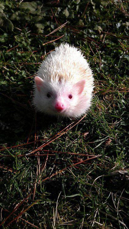 Albino Hedgehog oh my goodness gracious. He's precious.