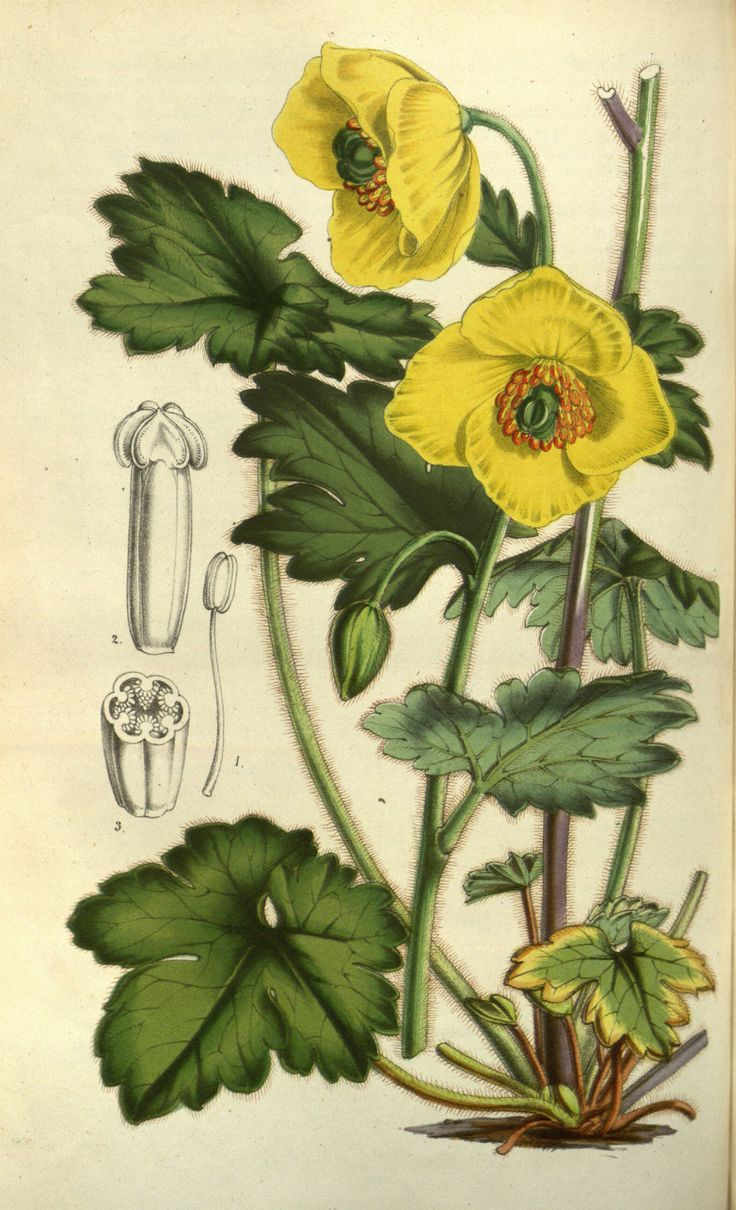 The best Art Botanicals images on Pinterest Botanical