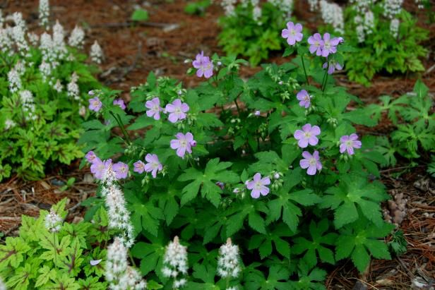 Discover the beauty of a native geranium. It brings carefree color and versatility to any landscape.