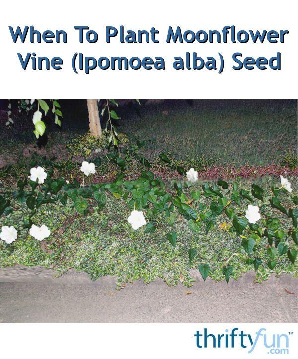 die besten 25 moonflower vine ideen auf pinterest schnell wachsende reben mondbl tenpflanze. Black Bedroom Furniture Sets. Home Design Ideas