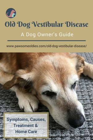 Old dog vestibular disease is common. Here is a dog owner's guide to its symptoms, causes, treatment, and home care. #dogcaretips #olddogs #doghealth #dogwellness #olddogvestibulardisease