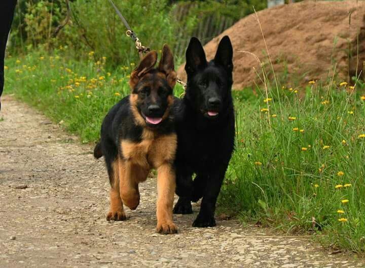 Gsd Puppies Omg They Look Like Bo And Shadow Pastor Alemao