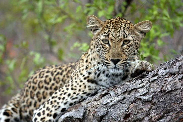 Have the chance to view Africa's largest predators. Look at our safari package on offer: http://www.africanoutposts.co.za/packages/detail/news/africas-largest-predators/