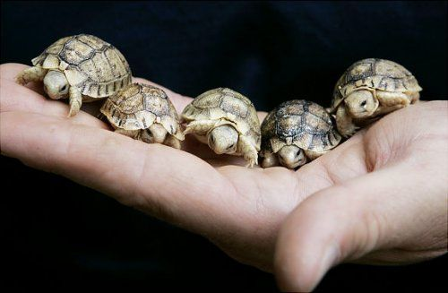 Handful of Baby Turtles