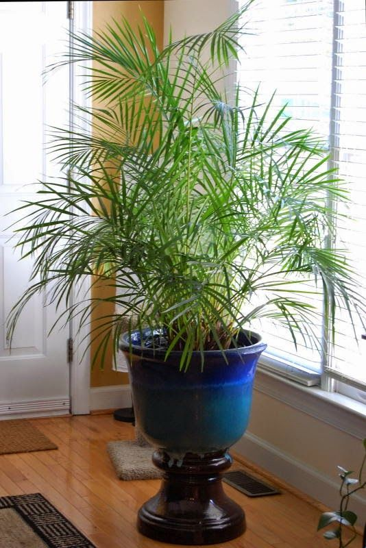 The Indoor Garden blog post: The Areca Palm; how to care ...