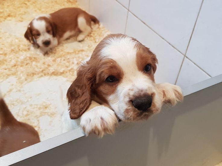 Welsh Springer Spaniel~Puppy