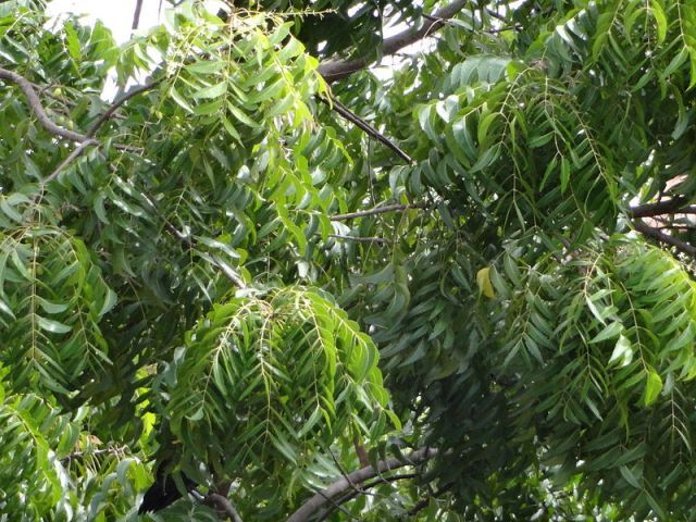 An important part of traditional Indian medicine, neem has been used to treat various skin and scalp conditions, reduce swelling and inflammation, get rid of parasites, and help with many other illness. Neem contains more than 35 biologically active ingredients and has many medicinal properties. Here's are 6 wonderful benefits of neem oil for hair and scalp.