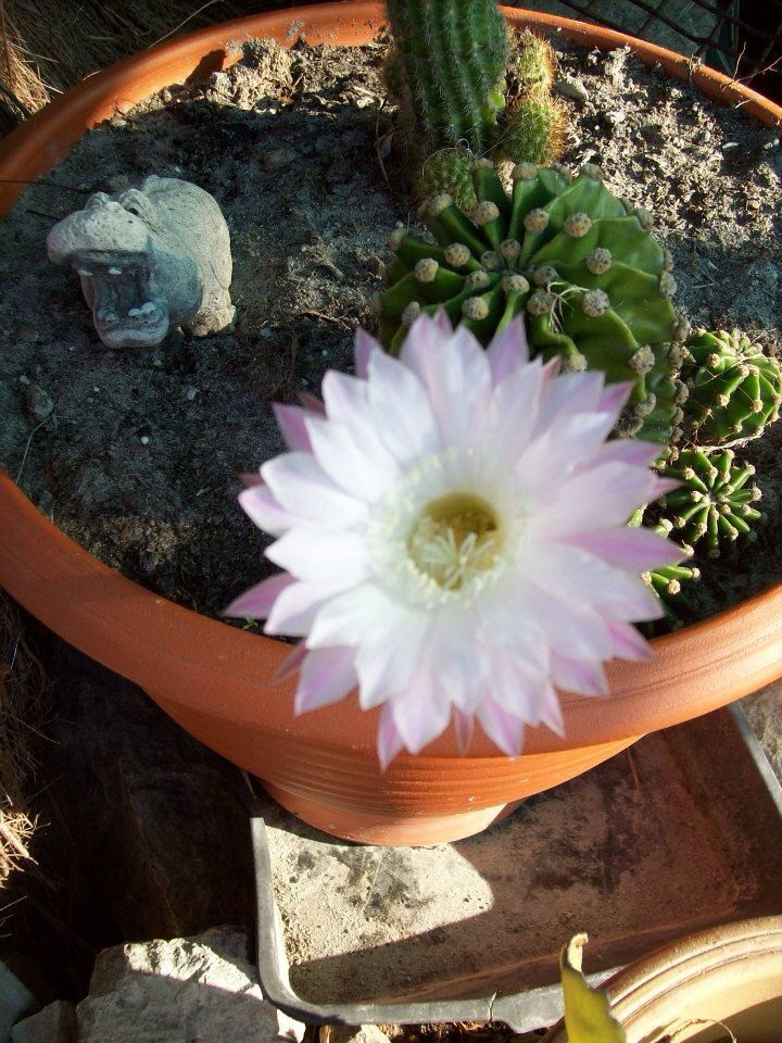 Another Pic Of Mum's Flower...