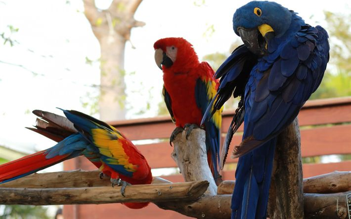 Download wallpapers beautiful parrots, macaw, red macaw, Hyacinth macaw, blue parrot