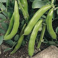 Organic Vegetable Seeds Online - Broad Beans sow march