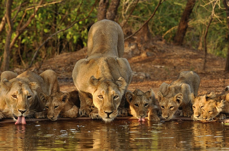 Asiatic lion and cubs - Gir, Gujarat. Image: Mukesh Acharya/Sanctuary Awards 2010.