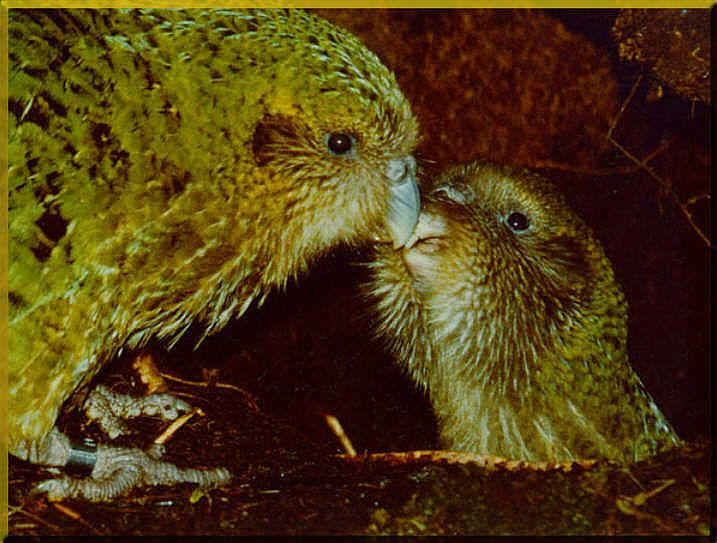 The kakapo (Strigops habroptilus) is a New Zealand species of flightless nocturnal parrots. The flightless parrots are critically endangered