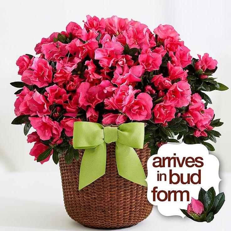 Hot Pink Azalea House plants for sale, Azalea bush