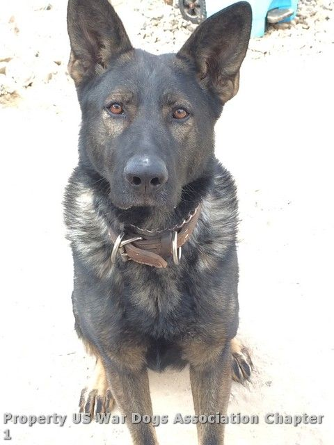 This is Kanon, Lee McCubbins' military working dog who was with Lee when Lee was killed. Kanon survived and stayed at Lee's side the entire time.  Bless you and thank you, Kanon, for your loyalty to your partner and for providing him comfort during the last moments of his life.  We know Lee is watching over you from heaven until it's time to meet again.