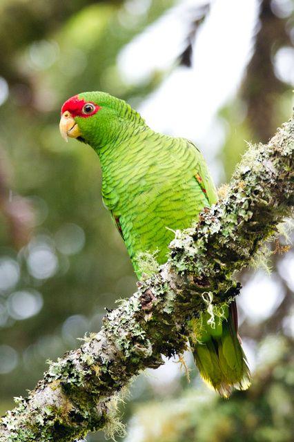 Foto papagaio-charão (Amazona pretrei) por Hiroshi Hattori | Wiki Aves - A Enciclopédia das Aves do Brasil