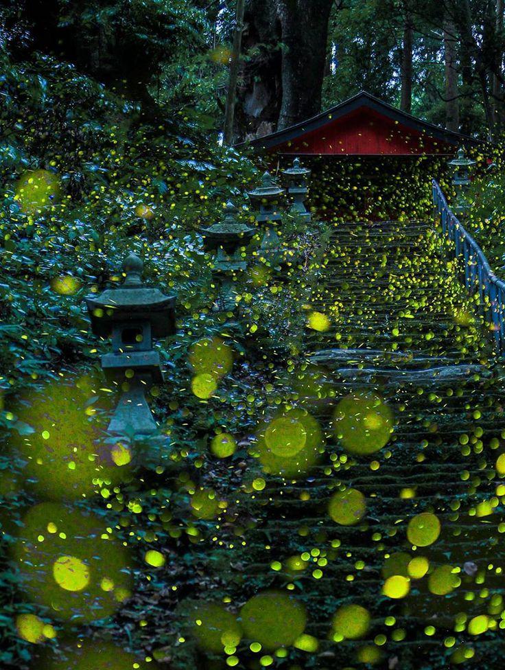 Voici une série de photos des surréalistes ballets de lucioles prises en cet été 2016 au Japon.