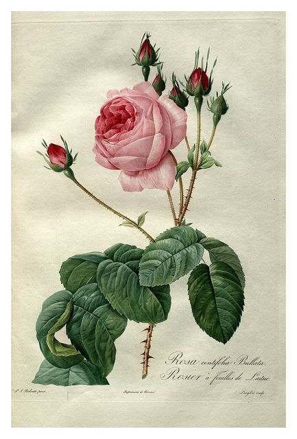 rose botanical prints