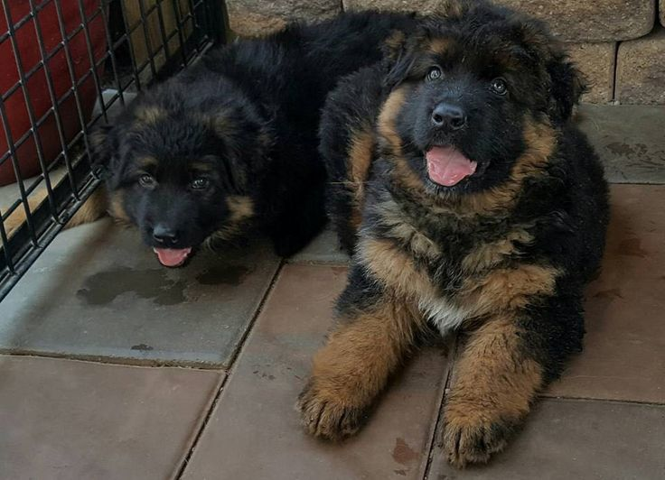 My aunt just posted this pic of her new fluff pups. Figured y'all would appreciate. http://ift.tt/1XyirKi