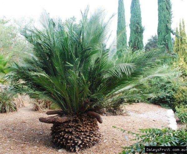 Macrozamia communis compliments of daves garden