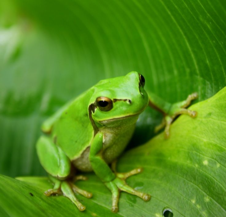 Best 25+ Green frog ideas on Pinterest | Frogs, Are tree ... Are Green Frogs Poisonous