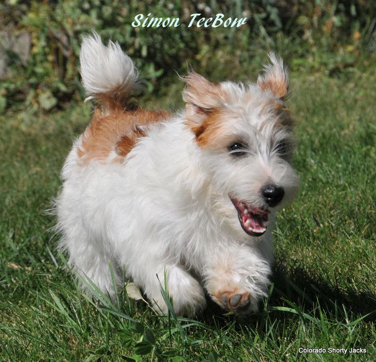 shorty jack russell terrier rough hair shortie jack russell vicki watts colorado 9146