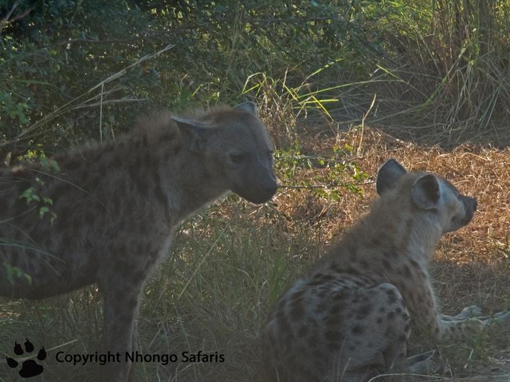 Hyena 2