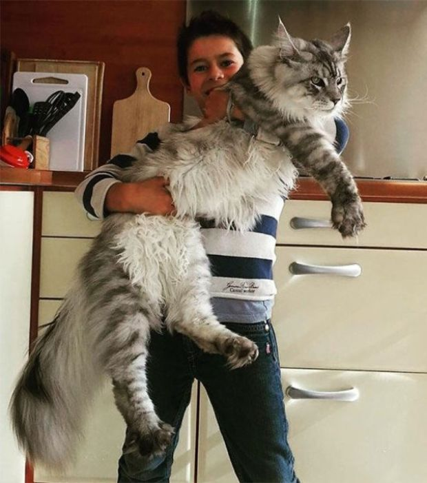 Selon le Guinness Book des records, Stewie, un chat Maine Coon détient le record du plus grand chat du monde, mesurant 123 cm.