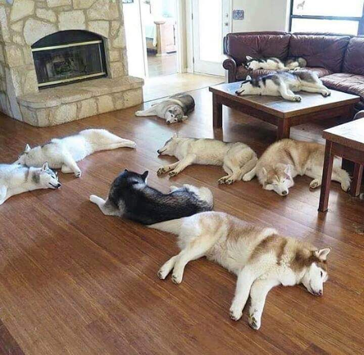 Huskies, Huskies Everywhere!