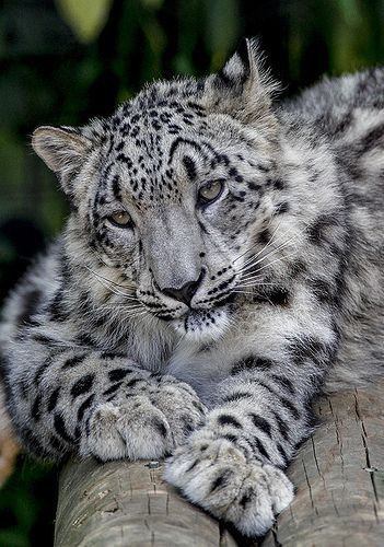 #SnowLeopard. Snow Leopard native to Central Asia
