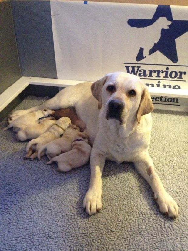 [Puppy Cam Live]Dog Bless You: Labrador Puppies Born for a Purpose |