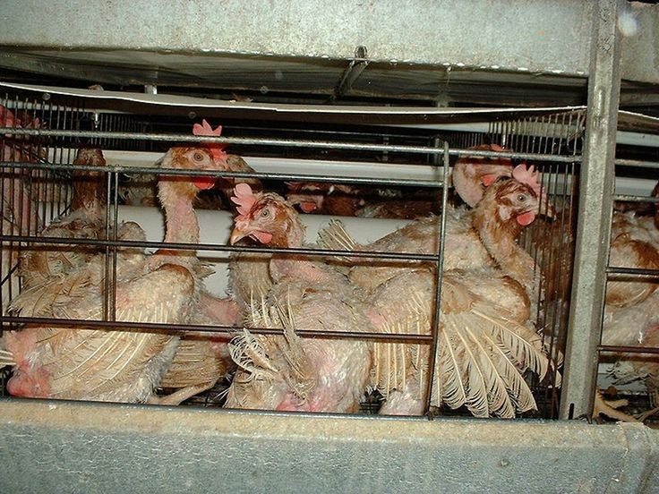 10 Alarming Facts About the Lives of Factory Farmed Animals: http://onegr.pl/1rouAAX