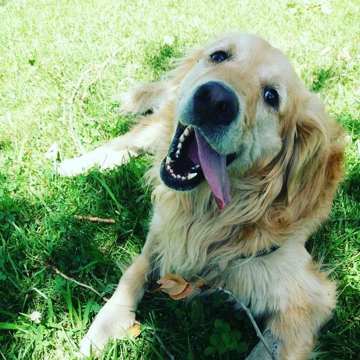Happiness is a smiling golden retriever....