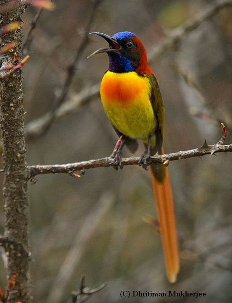 Fire-tailed Sunbird - N. Indian Subcontinent, primarily Himalayas & adjoining regions in SE Asia