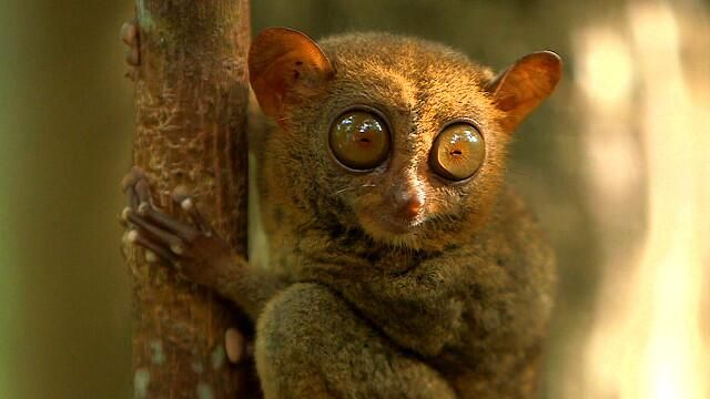 [VIDEO] Cara a cara con el tímido y solitario tarsero, el primate más antiguo del mundo http://bbc.in/1pb0T77 pic.twitter.com/5jWOnzVO7h