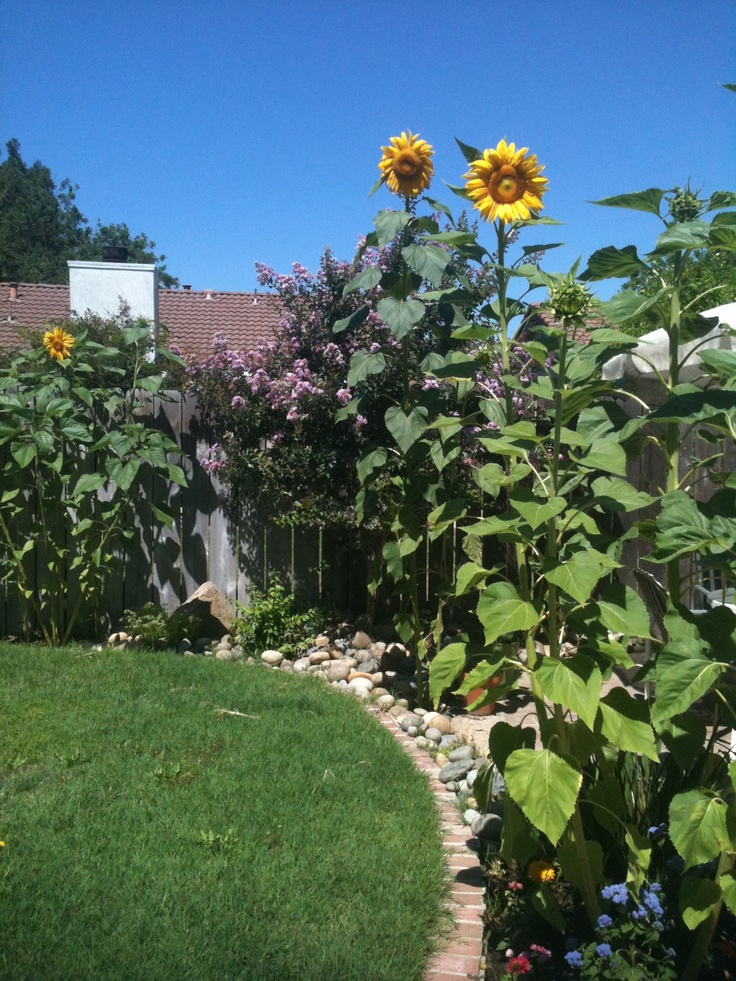 Sunflower Garden Ideas garden landscaping Find This Pin And More On Front Yard Garden Ideas Sunflowers