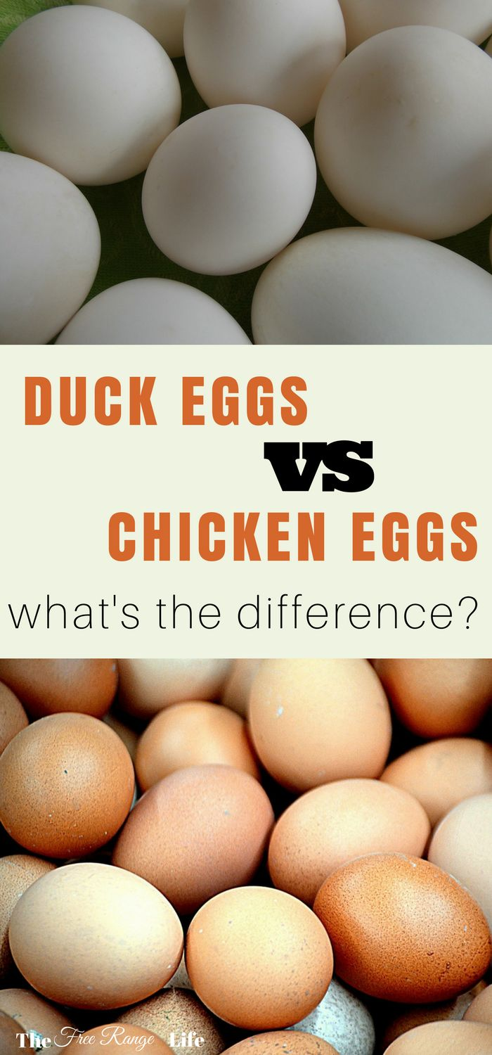 Do you prefer duck eggs or chicken eggs? Find out the major differences between duck eggs and chicken eggs!