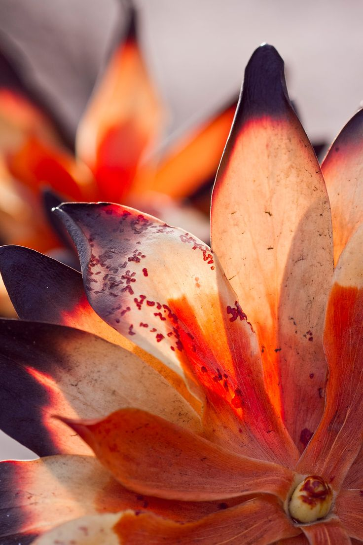cape fire fynbos | Fire is a rebirth for the ecosystem, without which the system winds down and dies