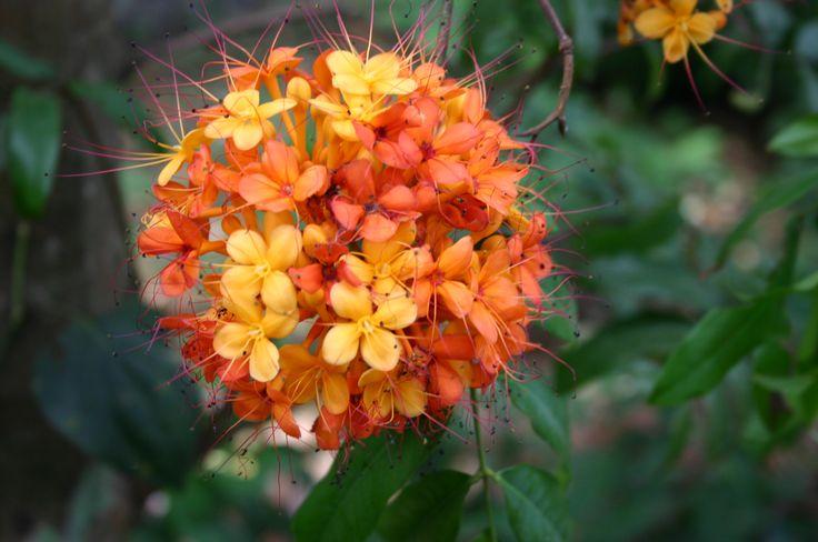 Ashoka tree flowers