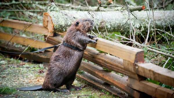 Loved these photos from Northwest Trek of one of the beaver's helping in the storm clean-up.