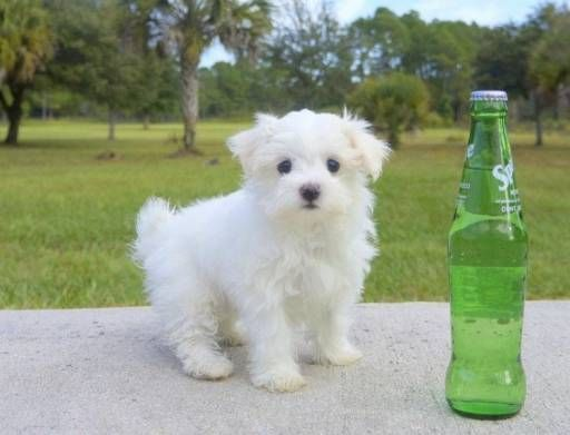 Maltese Dogs For Sale In United States Florida Jacksonville You