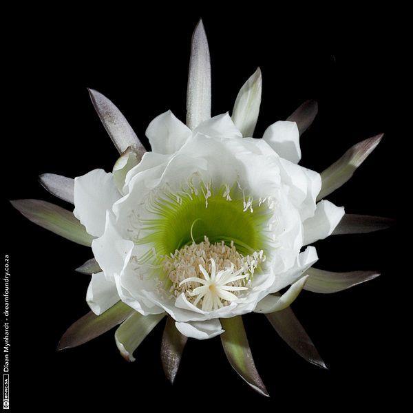 Flower of the Echinopsis pachanoi cactus (San Pedro Cactus)