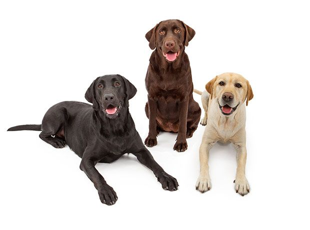 The Difference Between English Labradors and American Labradors - American Labs