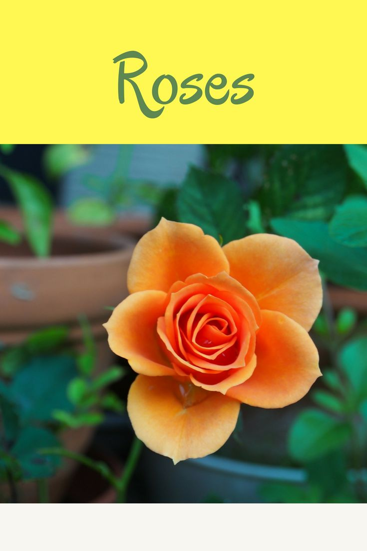This guide to roses will help you plant and care for your roses as well as give you some helpful tips and tricks