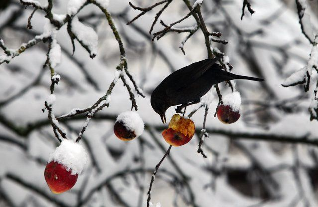 A bird picks at an apple in a snow-covered apple tree in Kaufbeuren, southern  Germany, Friday December 26, 2014. Weather forecasts predict more snowfall for the next few days in Germany. (Photo by Karl-Josef Hildenbrand/AP Photo/DPA)