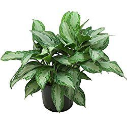 Chinese Evergreen plant is easy to grow, and tolerant of low light and low humidity. House plant profile, picture and care tips.