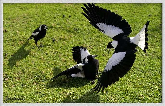 Australian magpies fighting