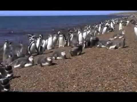 Pingüinos magallánicos por BuenosAiresFilms.com.ar