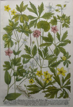 Ranunculus (Buttercup Family). Plate 856. by Johann Weinmann