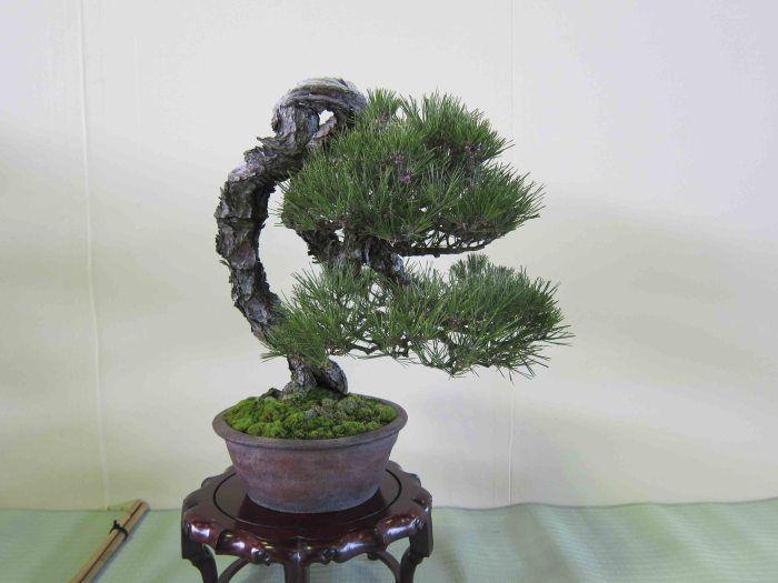Jp big literati black pine bonsai literati bunjingi for Literati bonsai gallery